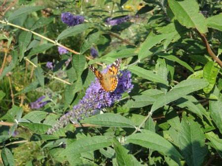 A Monarch feeding