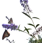 Two Monarchs at Butterfly Bush