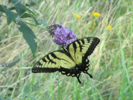 Swallowtail feeding on Butterfly Bush