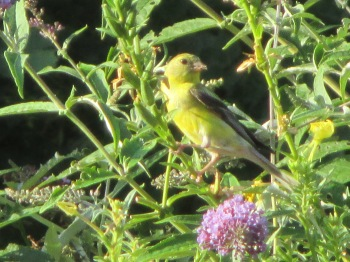 A frequent visitor Male American Goldfinch