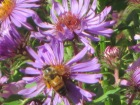 Bees love New England Asters
