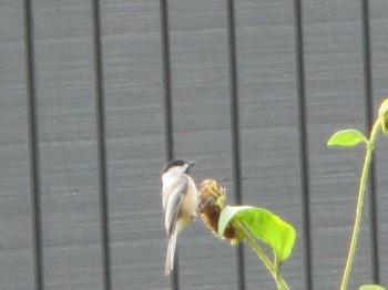 Black Capped Chickadee foraging sunflower seeds