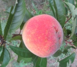 Plump ripe peach