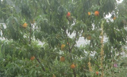 My peach tree loaded with fruit ready to drop