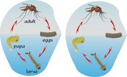 Mosquito life cycle dreamtime.com